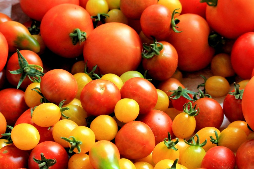 Red Tomatoes in Hydroponics
