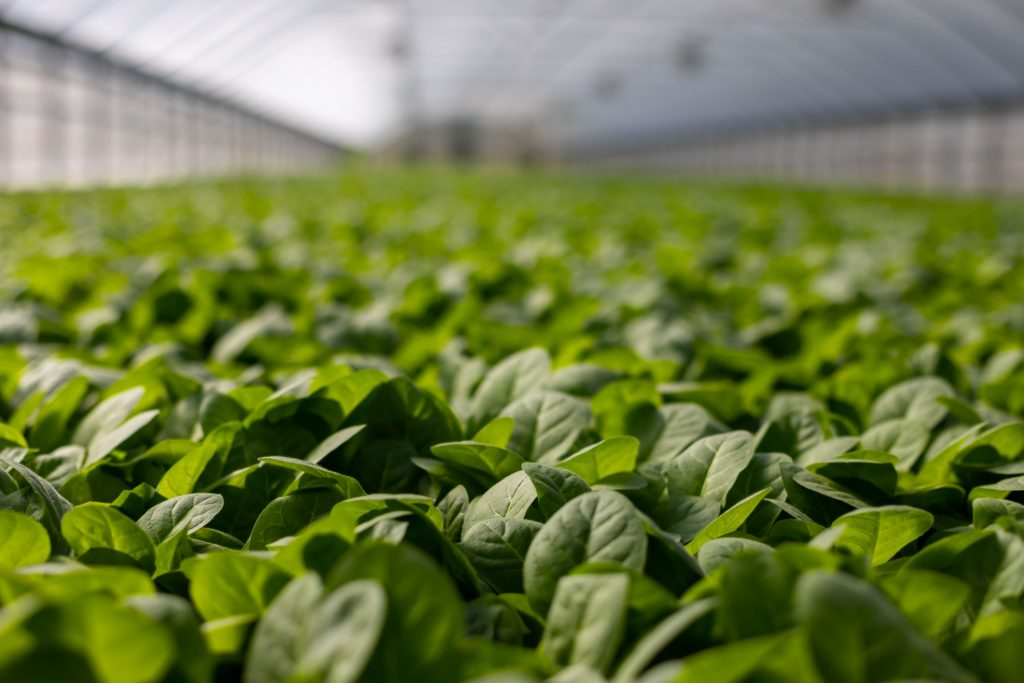 Leafy Green Vegetables in Hydroponics