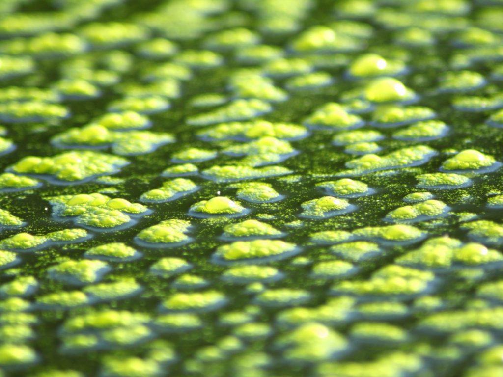 Algae affects Hydroponics