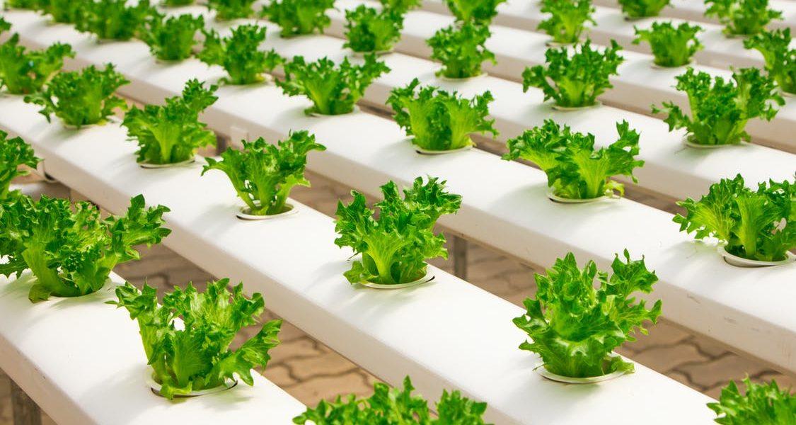 Growing plants in hydroponics