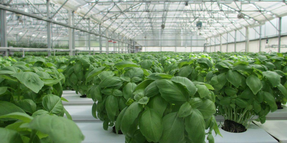 Growing basil in hydroponics