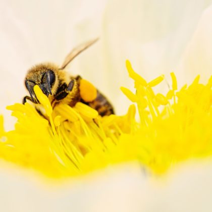 Bee is pollinating a plant