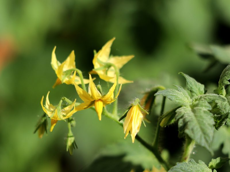 DIY Nutrient Solution for Flowering