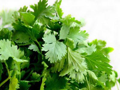 Growing cilantro in aquaponics