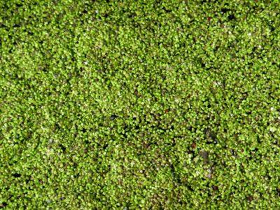 Duckweed additional plant for aquaponics