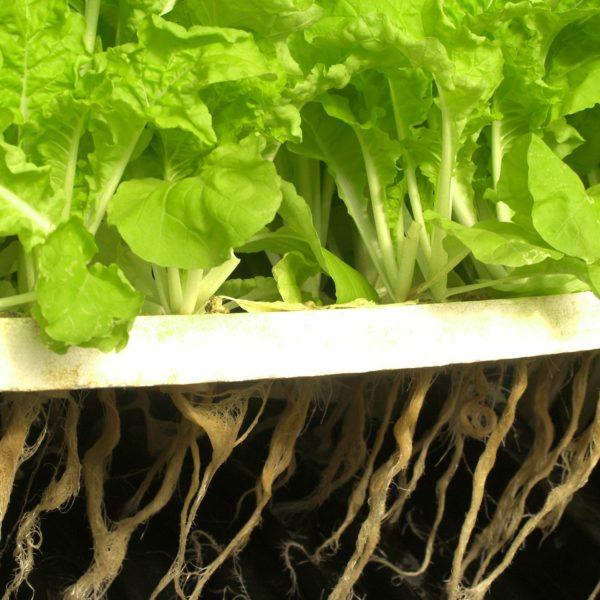 Lettuce in hydroponic