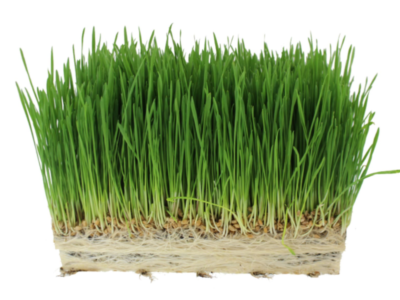 Wheatgrass in hydroponics