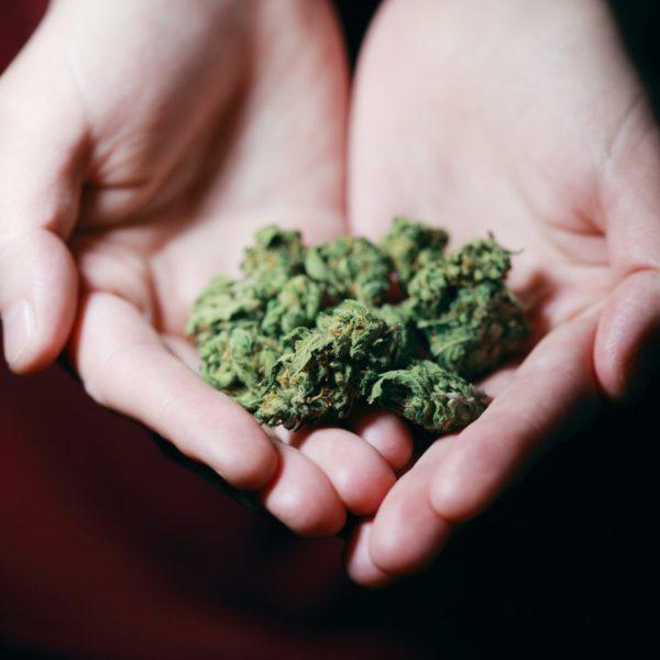 Ready to harvest marijuana