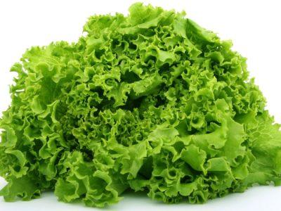 Lettuce in aquaponics