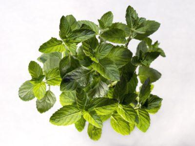 Growing mint in aquaponics