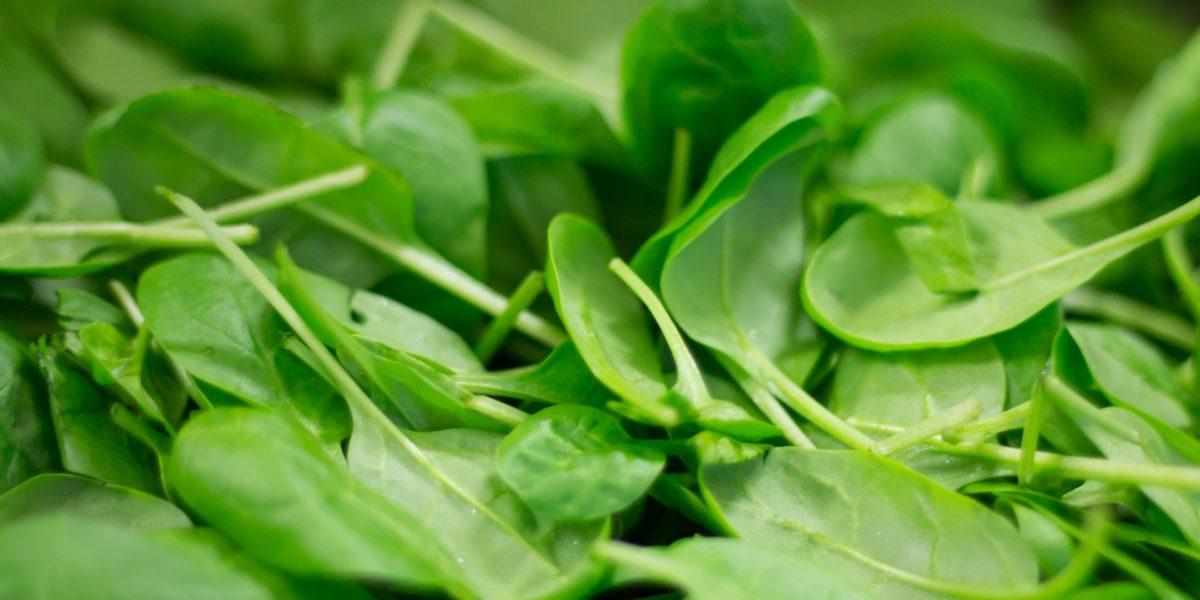 Spinach in hydroponics