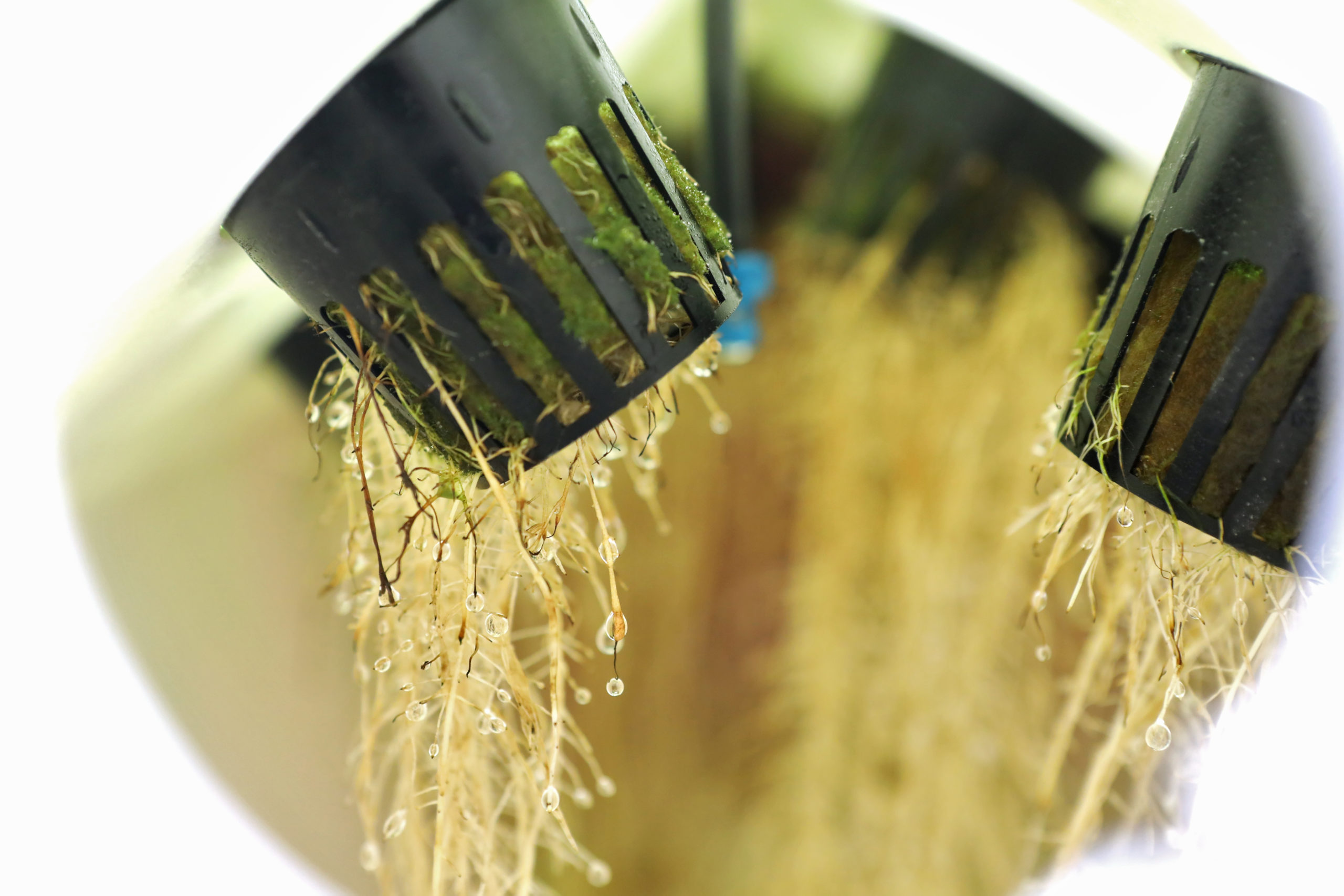 root systems in aeroponics