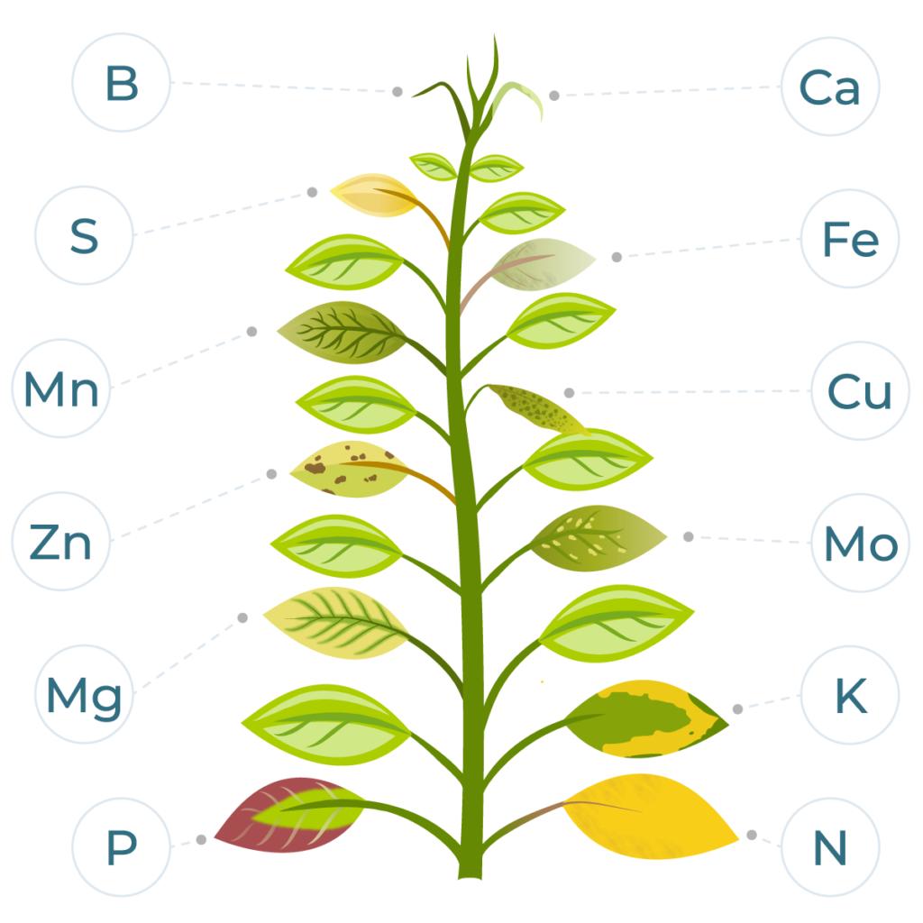 symptoms of nutrient deficiency on leaves