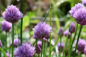 flowering chive plants