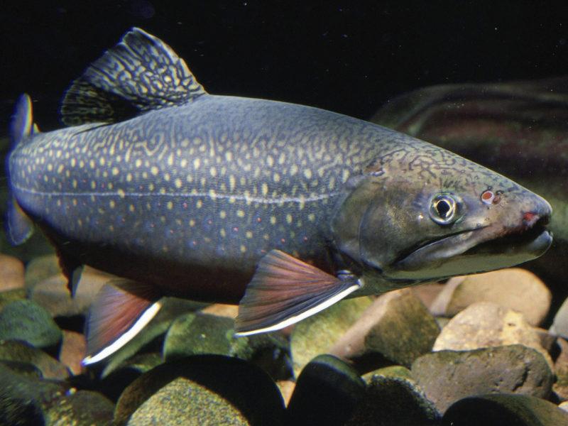 Easiest Fish for Aquaponics
