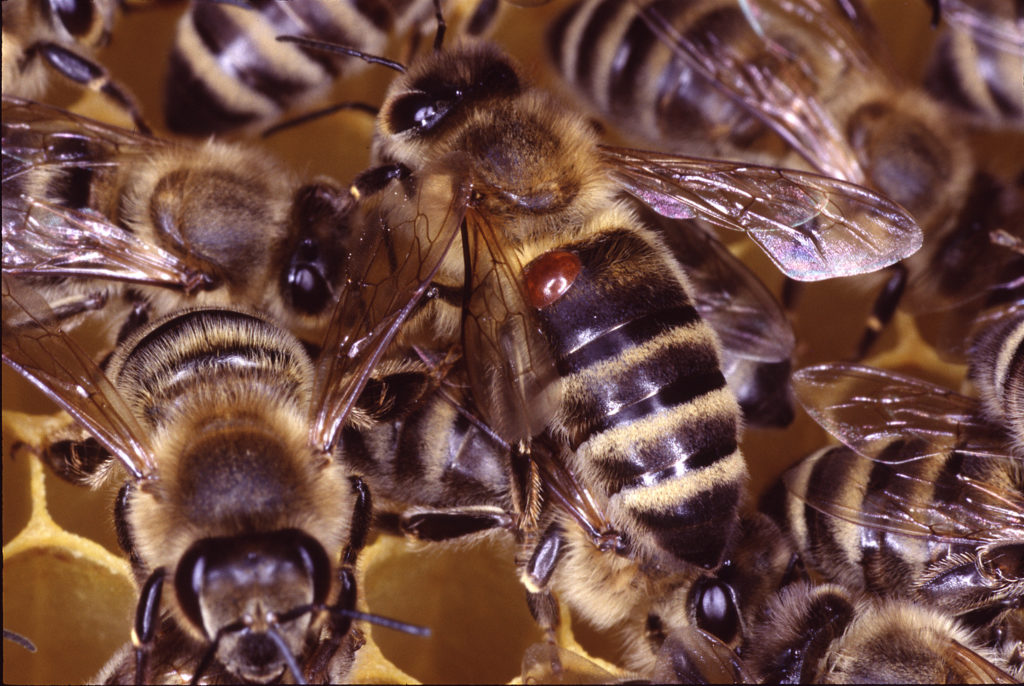 Varroa Mites - What Every Beekeeper Should Know