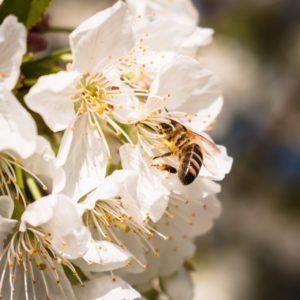 Species of Bees for Beekeeping