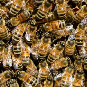 Why Do Bees Swarm?